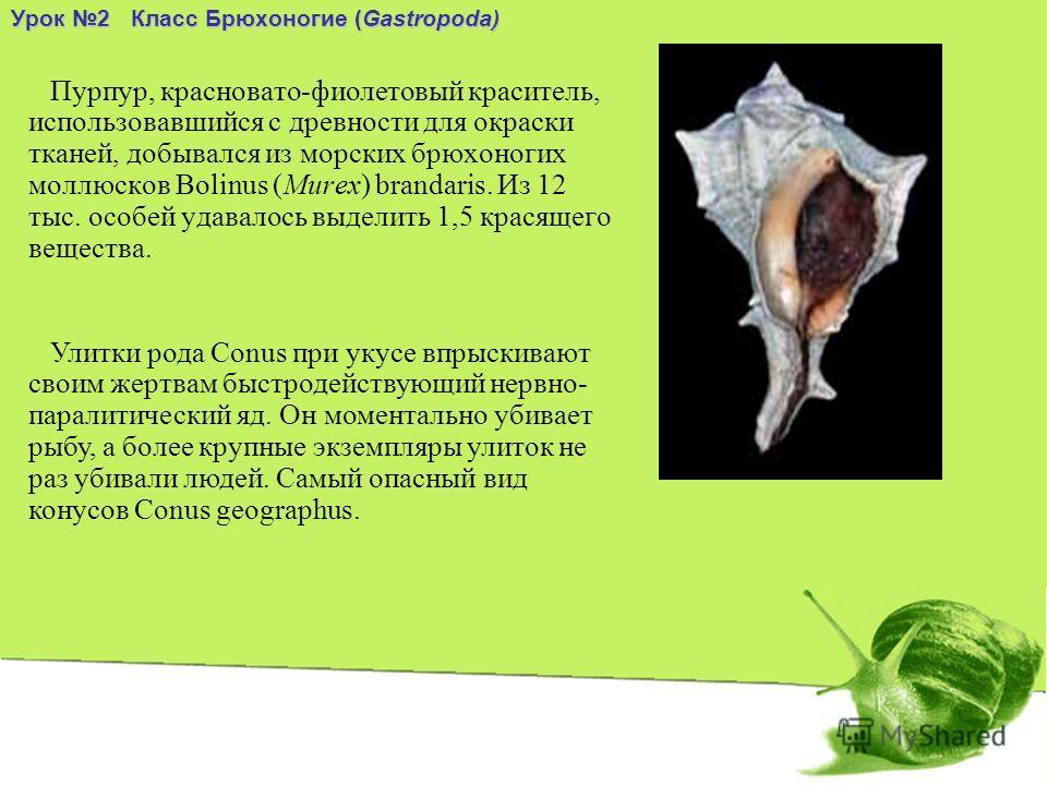 Пурпур, красновато-фиолетовый краситель, использовавшийся с древности для окраски тканей, добывался из морских брюхоногих моллюсков Bolinus (Murex) brandaris. Из 12 тыс. особей удавалось выделить 1,5 красящего вещества. Урок 2 Класс Брюхоногие (Gastr