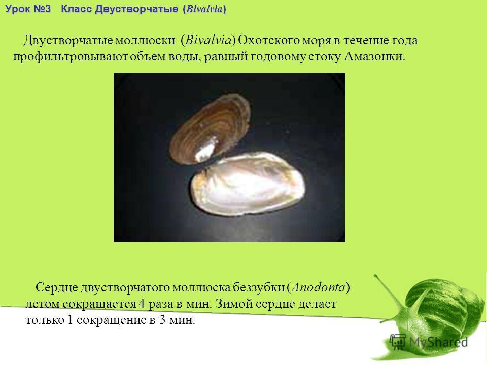Двустворчатые моллюски (Bivalvia) Охотского моря в течение года профильтровывают объем воды, равный годовому стоку Амазонки. Урок 3 Класс Двустворчатые ( Bivalvia ) Сердце двустворчатого моллюска беззубки (Anodonta) летом сокращается 4 раза в мин. Зи