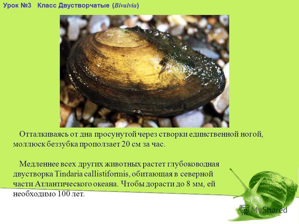 Отталкиваясь от дна просунутой через створки единственной ногой, моллюск беззубка проползает 20 см за час. Урок 3 Класс Двустворчатые ( Bivalvia ) Медленнее всех других животных растет глубоководная двустворка Tindaria callistiformis, обитающая в сев