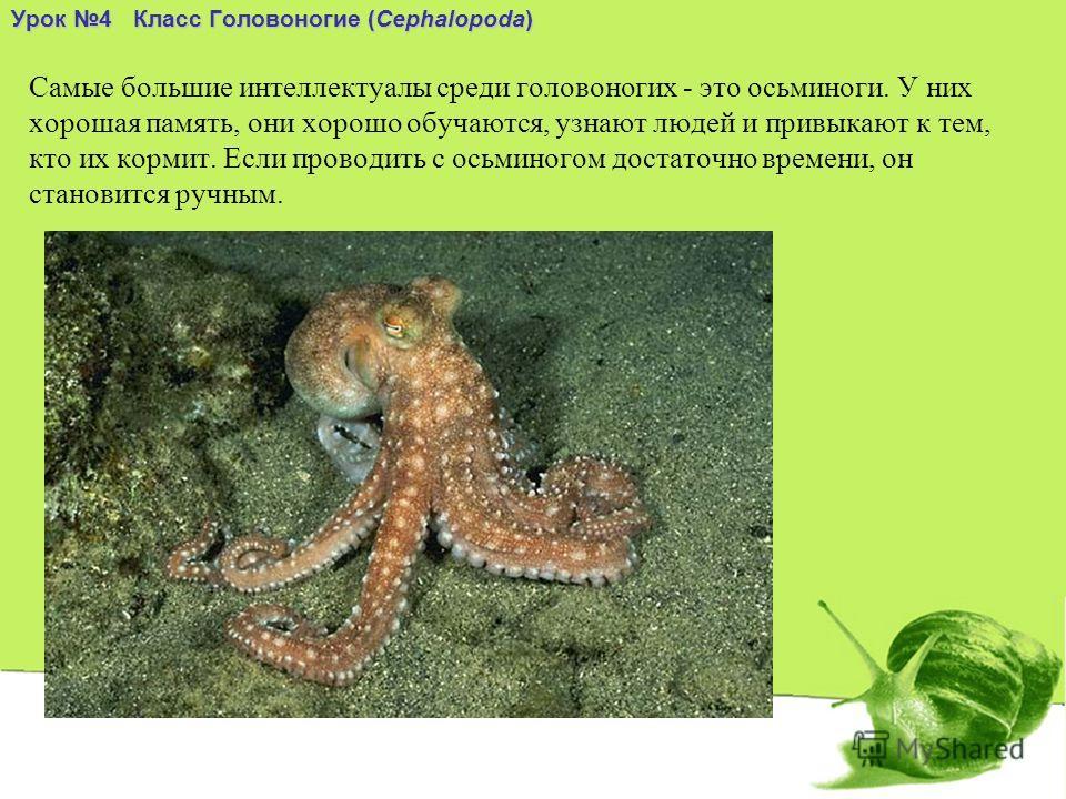 Самые большие интеллектуалы среди головоногих - это осьминоги. У них хорошая память, они хорошо обучаются, узнают людей и привыкают к тем, кто их кормит. Если проводить с осьминогом достаточно времени, он становится ручным. Урок 4 Класс Головоногие (