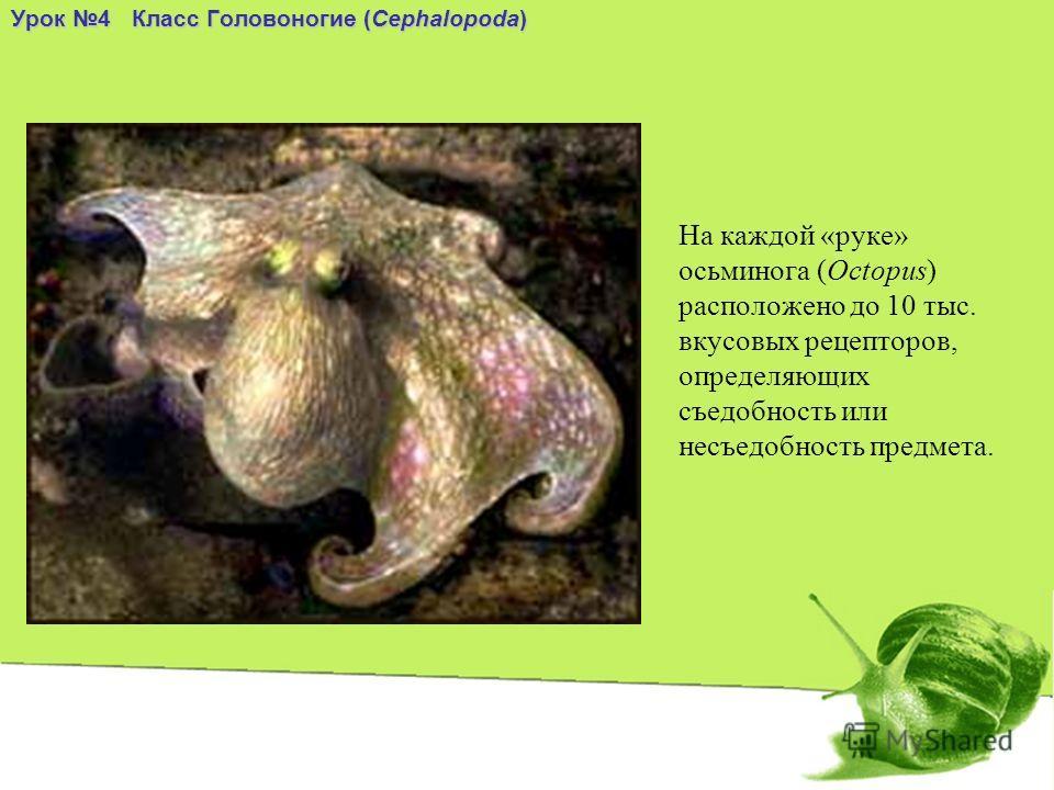 На каждой «руке» осьминога (Octopus) расположено до 10 тыс. вкусовых рецепторов, определяющих съедобность или несъедобность предмета. Урок 4 Класс Головоногие (Cephalopoda)
