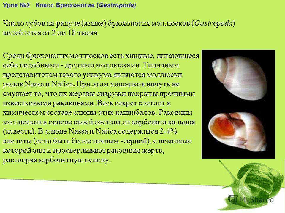 Число зубов на радуле (языке) брюхоногих моллюсков (Gastropoda) колеблется от 2 до 18 тысяч. Среди брюхоногих моллюсков есть хищные, питающиеся себе подобными - другими моллюсками. Типичным представителем такого уникума являются моллюски родов Nassa