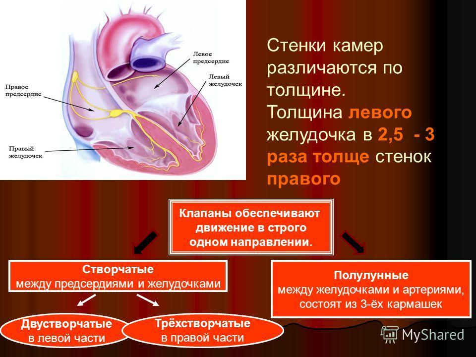 Стенки камер различаются по толщине. Толщина левого желудочка в 2,5 - 3 раза толще стенок правого Клапаны обеспечивают движение в строго одном направлении. Створчатые между предсердиями и желудочками Полулунные между желудочками и артериями, состоят