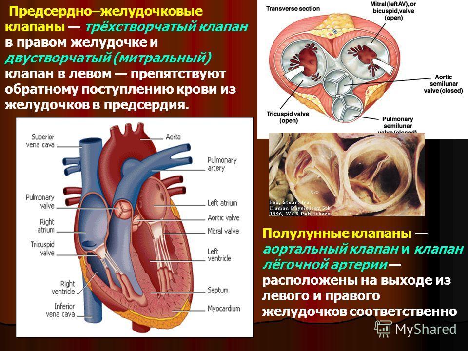 Предсердно–желудочковые клапаны трёхстворчатый клапан в правом желудочке и двустворчатый (митральный) клапан в левом препятствуют обратному поступлению крови из желудочков в предсердия. Полулунные клапаны аортальный клапан и клапан лёгочной артерии р