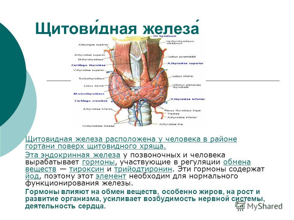 Щитови́дная железа́ Щитовидная железа расположена у человека в районе гортани поверх щитовидного хряща. Эта эндокринная железаЭта эндокринная железа у позвоночных и человека вырабатывает гормоны, участвующие в регуляции обмена веществ тироксин и трий