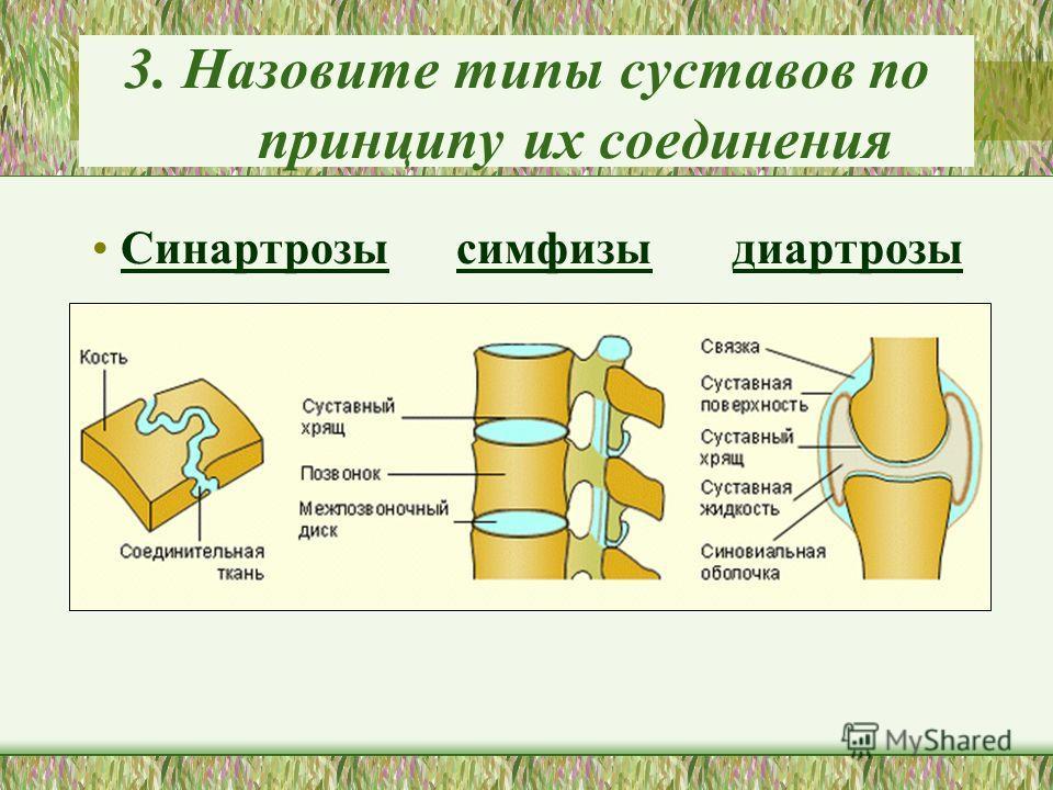 3. Назовите типы суставов по принципу их соединения Синартрозы симфизы диартрозы