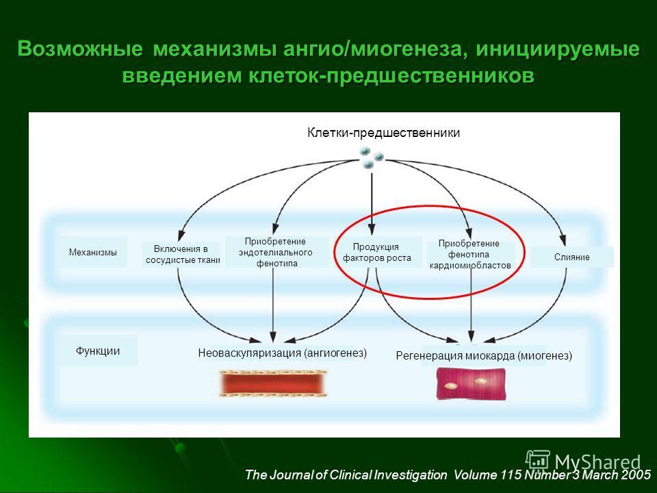 Возможные механизмы ангио/миогенеза, инициируемые введением клеток-предшественников The Journal of Clinical Investigation Volume 115 Number 3 March 2005 Клетки-предшественники Механизмы Включения в сосудистые ткани Приобретение эндотелиального феноти