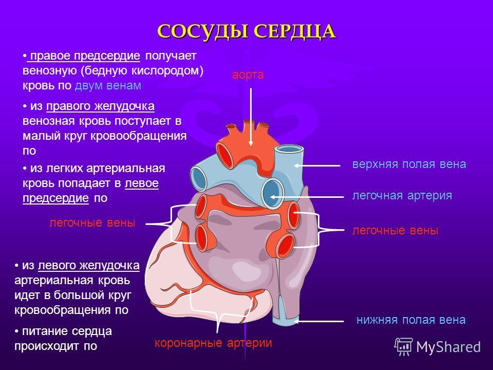 СОСУДЫ СЕРДЦА аорта легочные вены нижняя полая вена верхняя полая вена коронарные артерии правое предсердие получает венозную (бедную кислородом) кровь по двум венам легочная артерия из правого желудочка венозная кровь поступает в малый круг кровообр