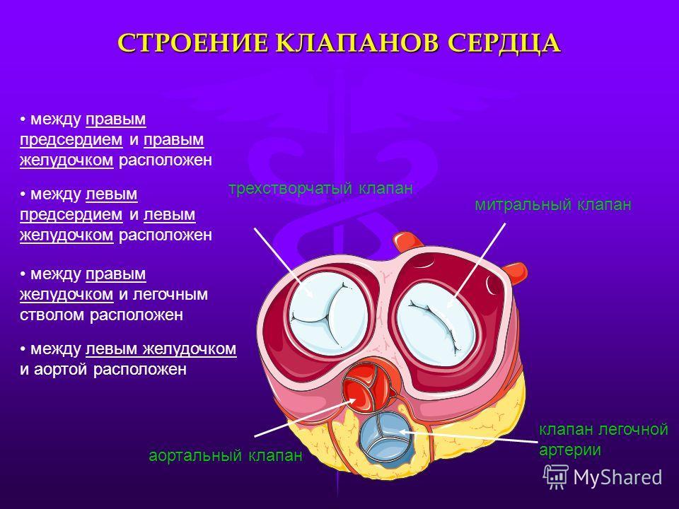 СТРОЕНИЕ КЛАПАНОВ СЕРДЦА трехстворчатый клапан митральный клапан аортальный клапан клапан легочной артерии между правым предсердием и правым желудочком расположен между левым предсердием и левым желудочком расположен между правым желудочком и легочны