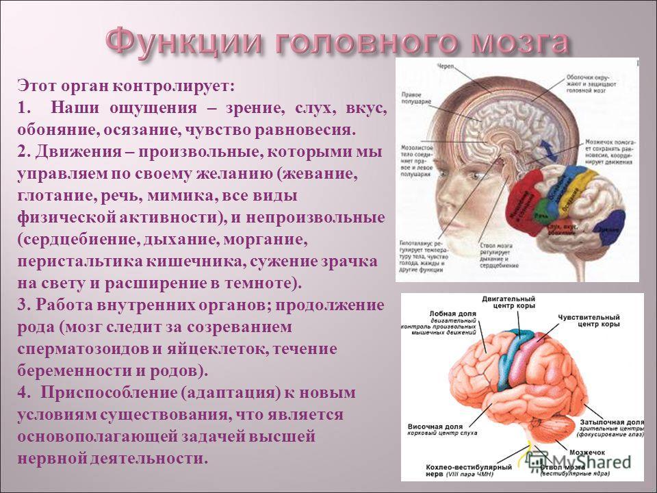 Этот орган контролирует: 1. Наши ощущения – зрение, слух, вкус, обоняние, осязание, чувство равновесия. 2. Движения – произвольные, которыми мы управляем по своему желанию (жевание, глотание, речь, мимика, все виды физической активности), и непроизво