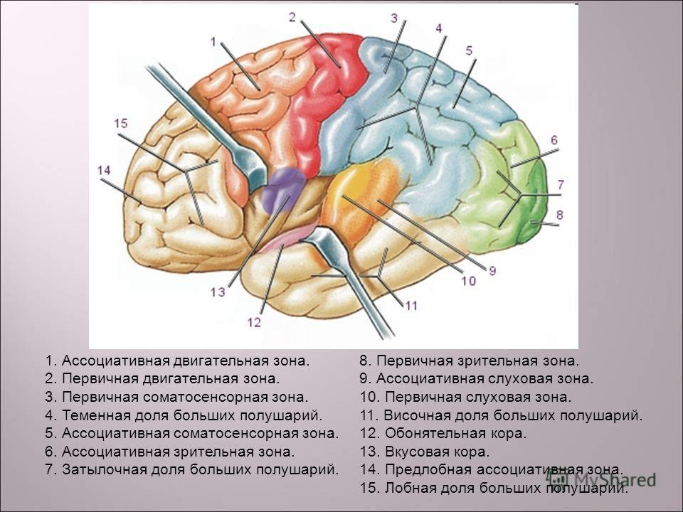 Область коры головного мозга двигательная