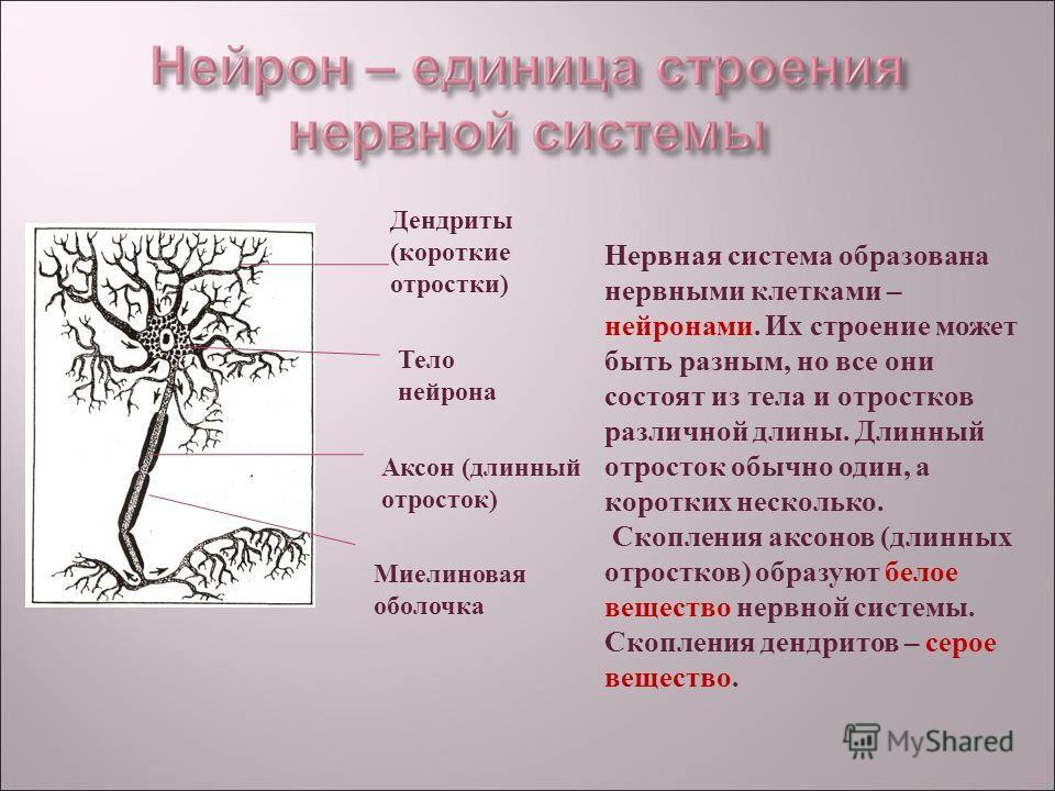 Нервная система образована нервными клетками – нейронами. Их строение может быть разным, но все они состоят из тела и отростков различной длины. Длинный отросток обычно один, а коротких несколько. Скопления аксонов (длинных отростков) образуют белое