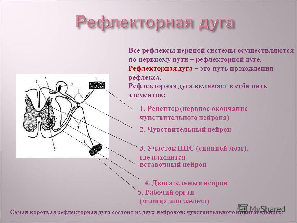 Все рефлексы нервной системы осуществляются по нервному пути – рефлекторной дуге. Рефлекторная дуга – это путь прохождения рефлекса. Рефлекторная дуга включает в себя пять элементов: 1. Рецептор (нервное окончание чувствительного нейрона) 2. Чувствит