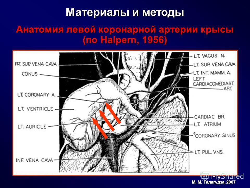 Материалы и методы Анатомия левой коронарной артерии крысы (по Halpern, 1956) М. М. Галагудза, 2007