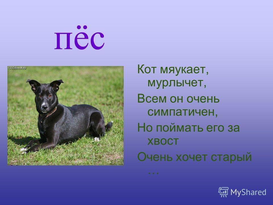 пёс Кот мяукает, мурлычет, Всем он очень симпатичен, Но поймать его за хвост Очень хочет старый …