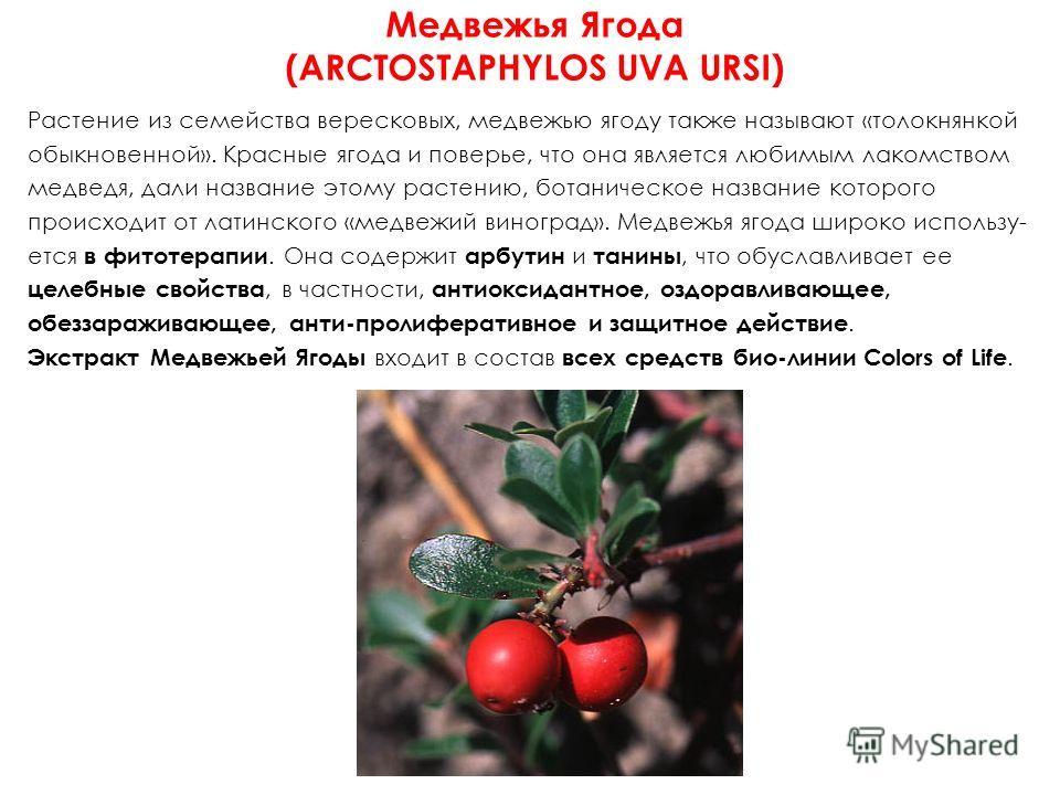 Медвежья Ягода (ARCTOSTAPHYLOS UVA URSI) Растение из семейства вересковых, медвежью ягоду также называют «толокнянкой обыкновенной». Красные ягода и поверье, что она является любимым лакомством медведя, дали название этому растению, ботаническое назв