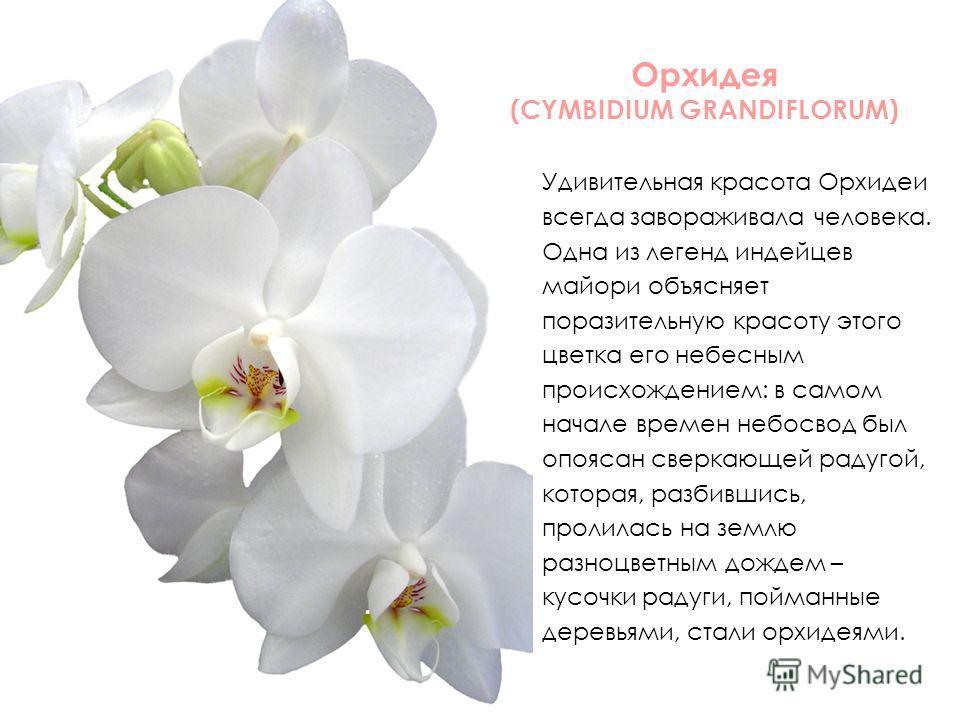 Орхидея (CYMBIDIUM GRANDIFLORUM) Удивительная красота Орхидеи всегда завораживала человека. Одна из легенд индейцев майори объясняет поразительную красоту этого цветка его небесным происхождением: в самом начале времен небосвод был опоясан сверкающей