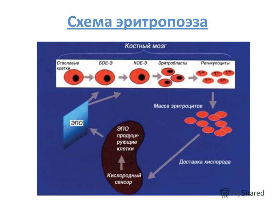 Схема эритропоэза