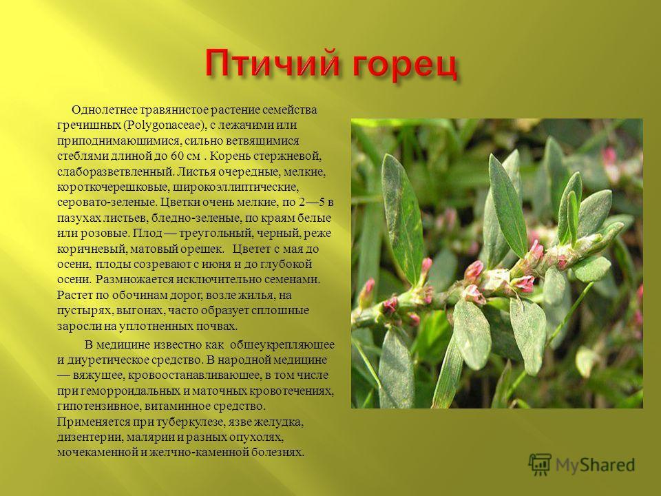 Однолетнее травянистое растение семейства гречишных (Polygonaceae), с лежачими или приподнимающимися, сильно ветвящимися стеблями длиной до 60 см. Корень стержневой, слаборазветвленный. Листья очередные, мелкие, короткочерешковые, широкоэллиптические