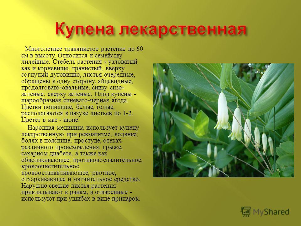 Многолетнее травянистое растение до 60 см в высоту. Относится к семейству лилейные. Стебель растения - узловатый как и корневище, гранистый, вверху согнутый дуговидно, листья очередные, обращены в одну сторону, яйцевидные, продолговато - овальные, сн