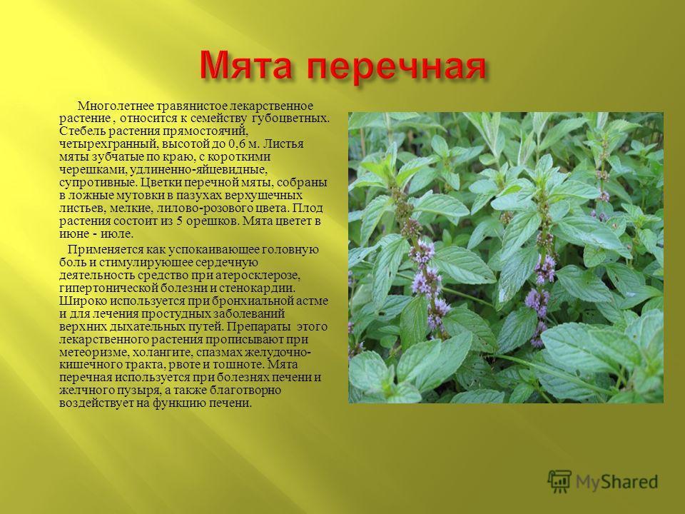 Многолетнее травянистое лекарственное растение, относится к семейству губоцветных. Стебель растения прямостоячий, четырехгранный, высотой до 0,6 м. Листья мяты зубчатые по краю, с короткими черешками, удлиненно - яйцевидные, супротивные. Цветки переч