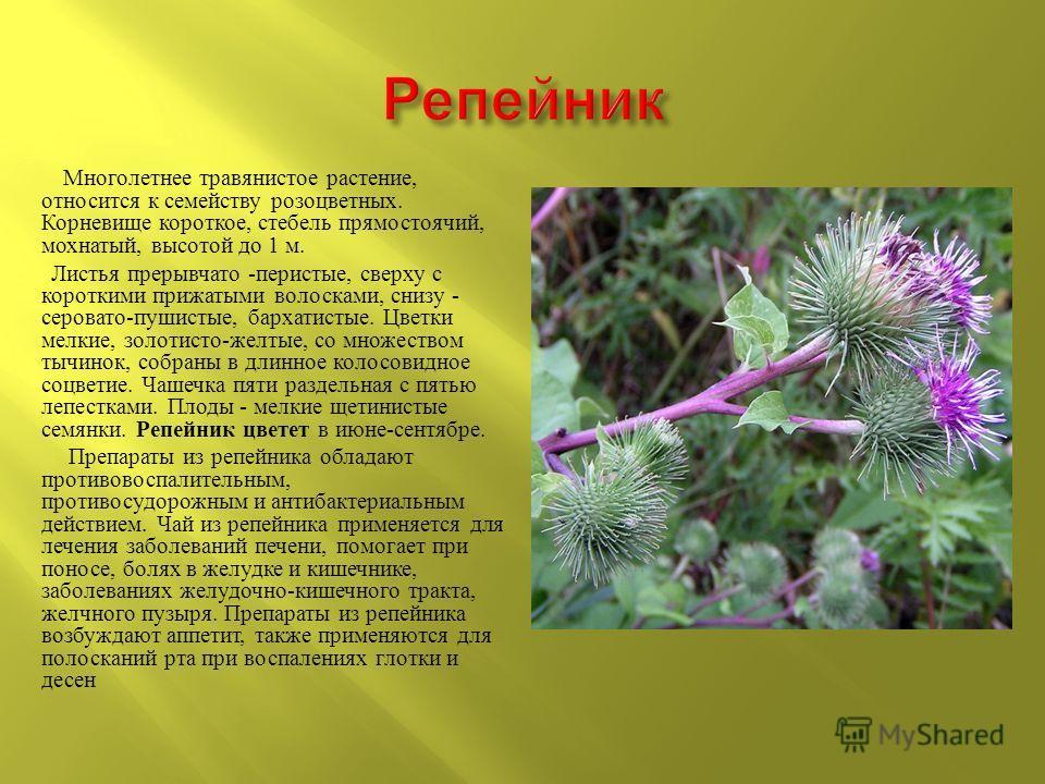 Многолетнее травянистое растение, относится к семейству розоцветных. Корневище короткое, стебель прямостоячий, мохнатый, высотой до 1 м. Листья прерывчато - перистые, сверху с короткими прижатыми волосками, снизу - серовато - пушистые, бархатистые. Ц