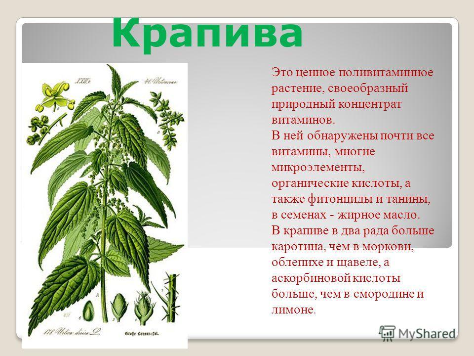 Это ценное поливитаминное растение, своеобразный природный концентрат витаминов. В ней обнаружены почти все витамины, многие микроэлементы, органические кислоты, а также фитонциды и танины, в семенах - жирное масло. В крапиве в два рада больше кароти