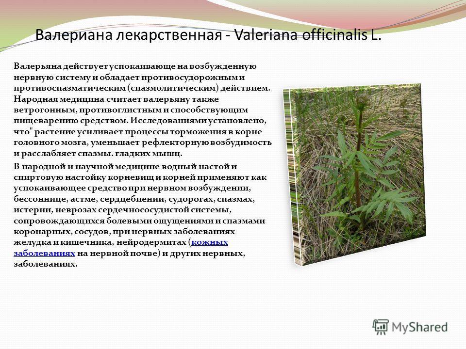 Валериана лекарственная - Valeriana officinalis L. Валерьяна действует успокаивающе на возбужденную нервную систему и обладает противосудорожным и противоспазматическим (спазмолитическим) действием. Народная медицина считает валерьяну также ветрогонн