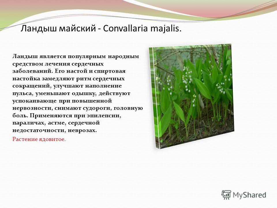 Ландыш майский - Convallaria majalis. Ландыш является популярным народным средством лечения сердечных заболеваний. Его настой и спиртовая настойка замедляют ритм сердечных сокращений, улучшают наполнение пульса, уменьшают одышку, действуют успокаиваю