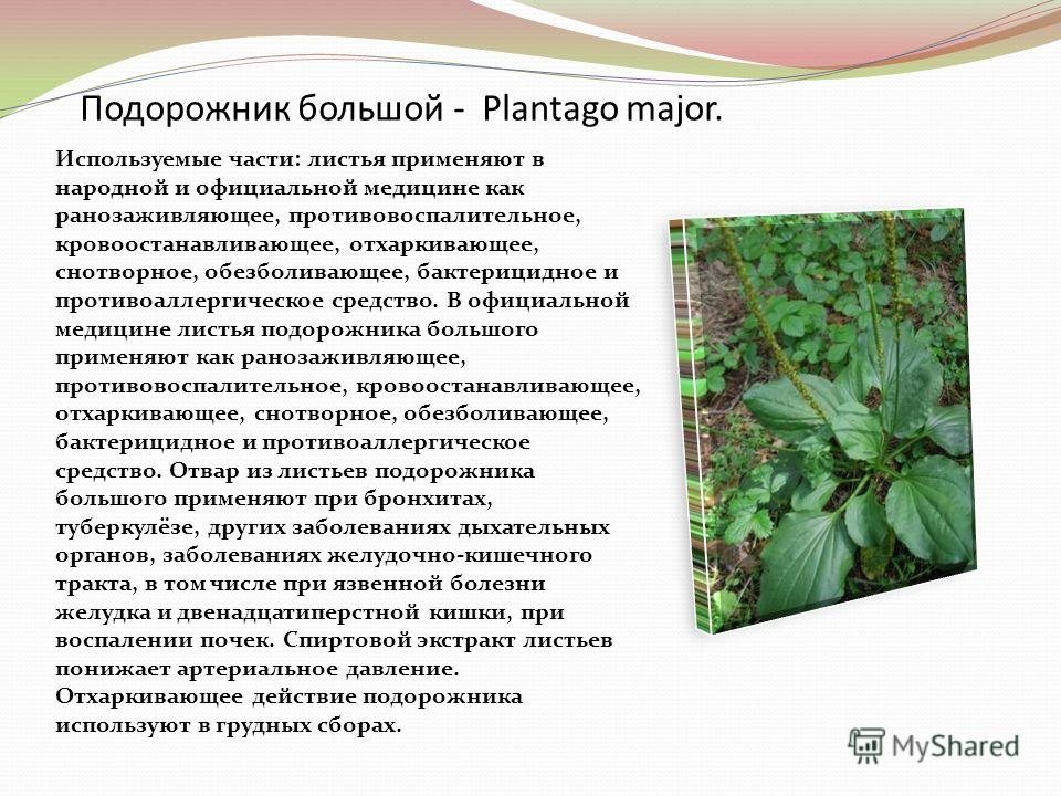 Подорожник большой - Plantago major. Используемые части: листья применяют в народной и официальной медицине как ранозаживляющее, противовоспалительное, кровоостанавливающее, отхаркивающее, снотворное, обезболивающее, бактерицидное и противоаллергичес