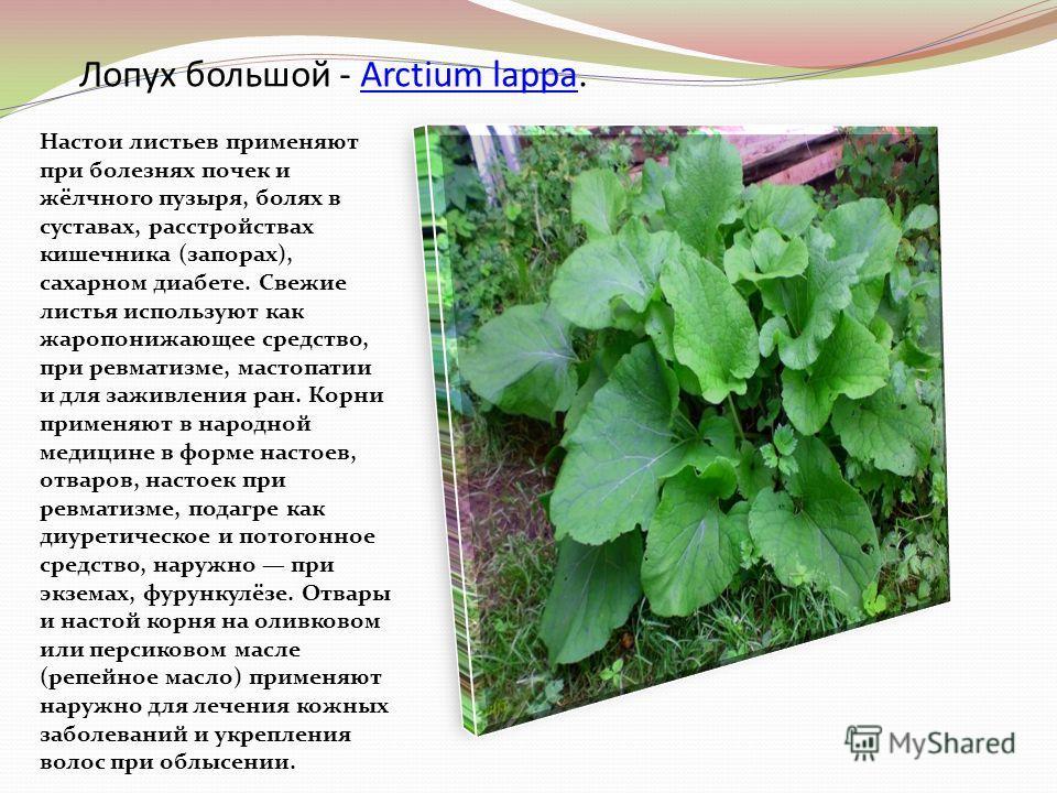 Лопух большой - Arctium lappa.Arctium lappa Настои листьев применяют при болезнях почек и жёлчного пузыря, болях в суставах, расстройствах кишечника (запорах), сахарном диабете. Свежие листья используют как жаропонижающее средство, при ревматизме, ма