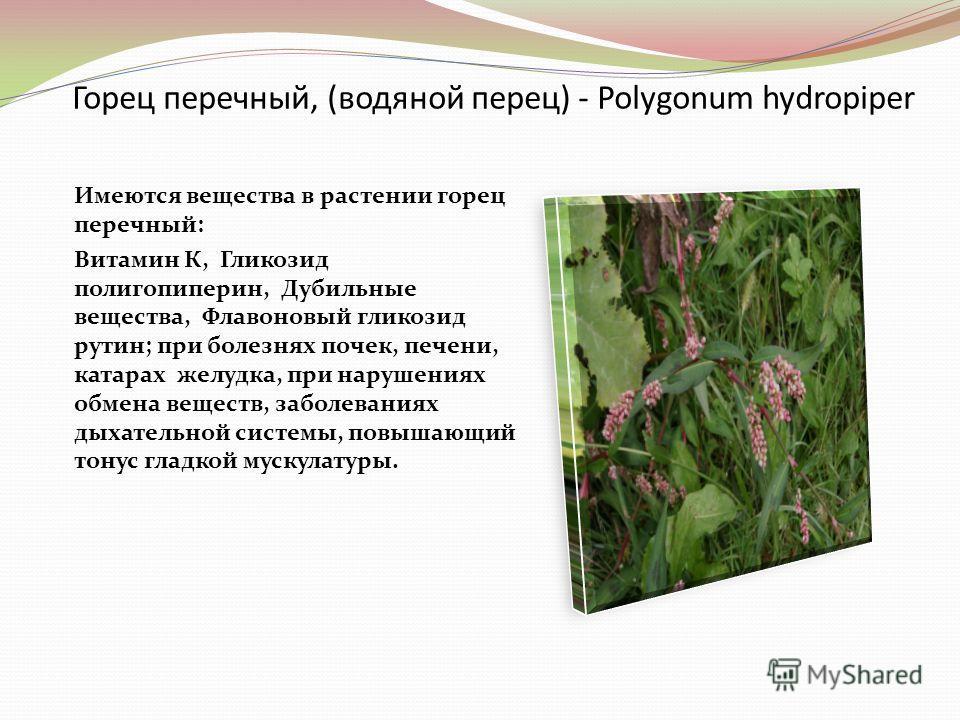 Горец перечный, (водяной перец) - Polygonum hydropiper Имеются вещества в растении горец перечный: Витамин К, Гликозид полигопиперин, Дубильные вещества, Флавоновый гликозид рутин; при болезнях почек, печени, катарах желудка, при нарушениях обмена ве
