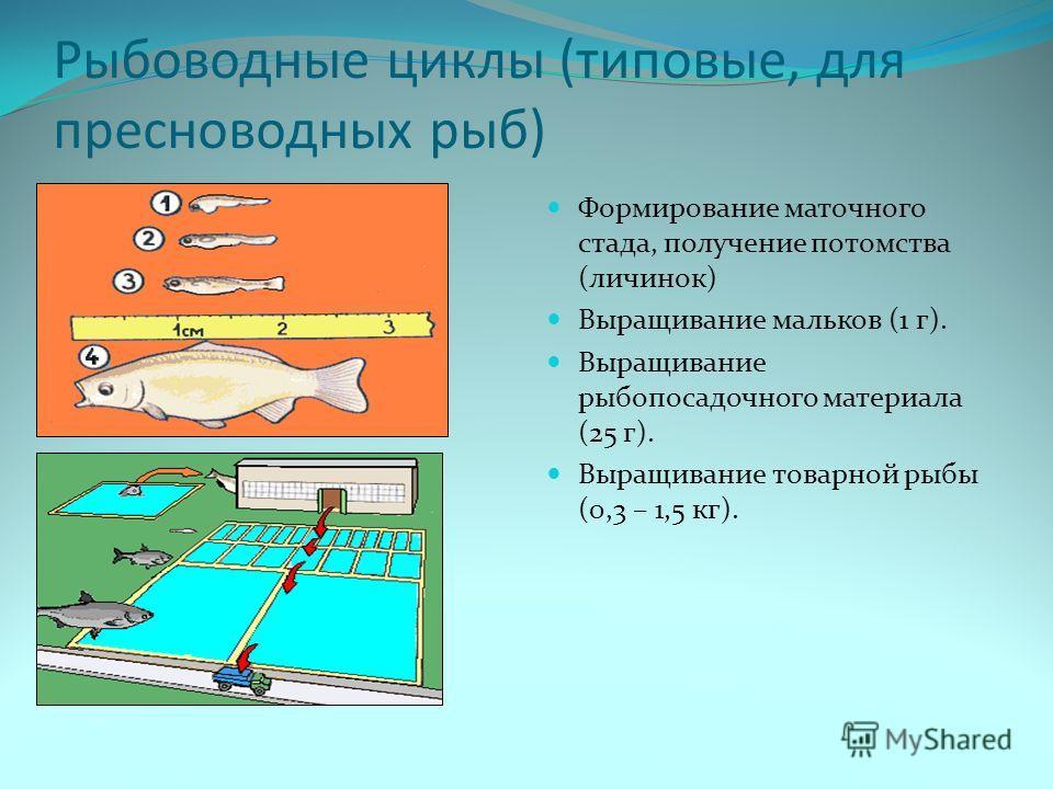 Рыбоводные циклы (типовые, для пресноводных рыб) Формирование маточного стада, получение потомства (личинок) Выращивание мальков (1 г). Выращивание рыбопосадочного материала (25 г). Выращивание товарной рыбы (0,3 – 1,5 кг).