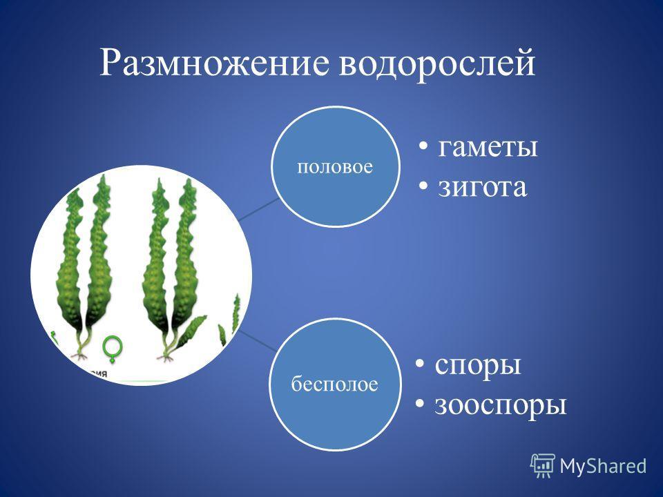 Размножение водорослей половое гаметы зигота бесполое споры зооспоры