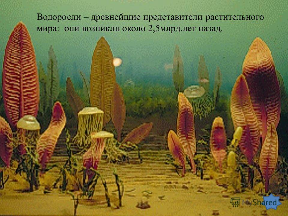 Водоросли – древнейшие представители растительного мира: они возникли около 2,5млрд.лет назад.