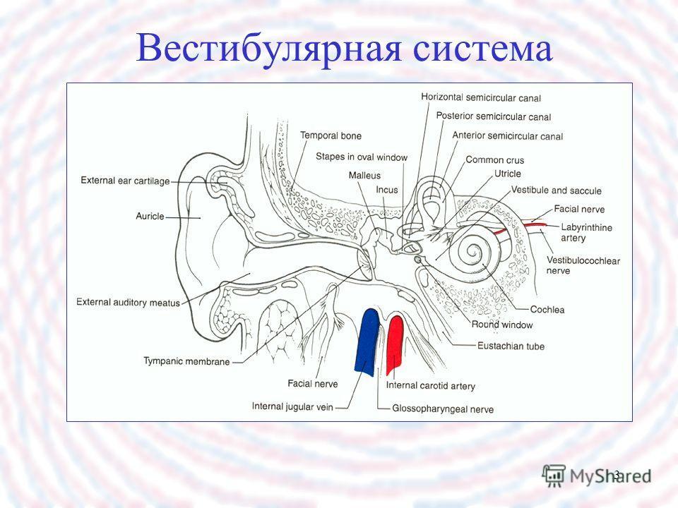 3 Вестибулярная система
