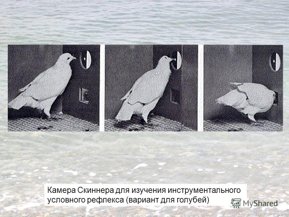 Камера Скиннера для изучения инструментального условного рефлекса (вариант для голубей)