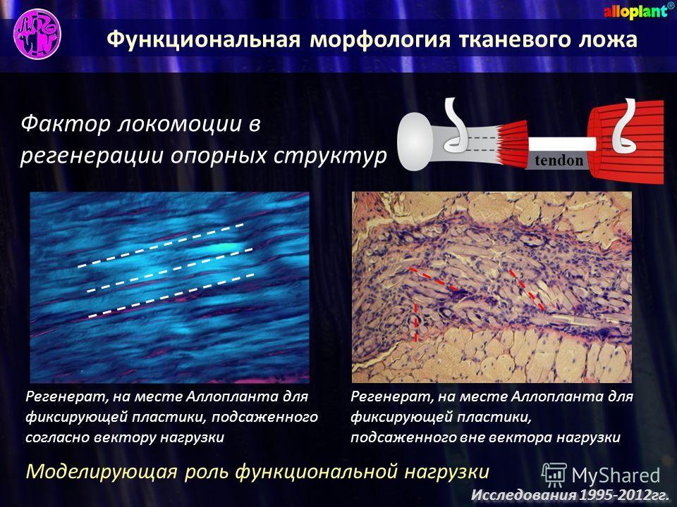 Функциональная морфология тканевого ложа Фактор локомоции в регенерации опорных структур Моделирующая роль функциональной нагрузки Регенерат, на месте Аллопланта для фиксирующей пластики, подсаженного согласно вектору нагрузки Регенерат, на месте Алл