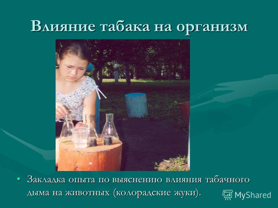 Влияние табака на организм Закладка опыта по выяснению влияния табачного дыма на животных (колорадские жуки).