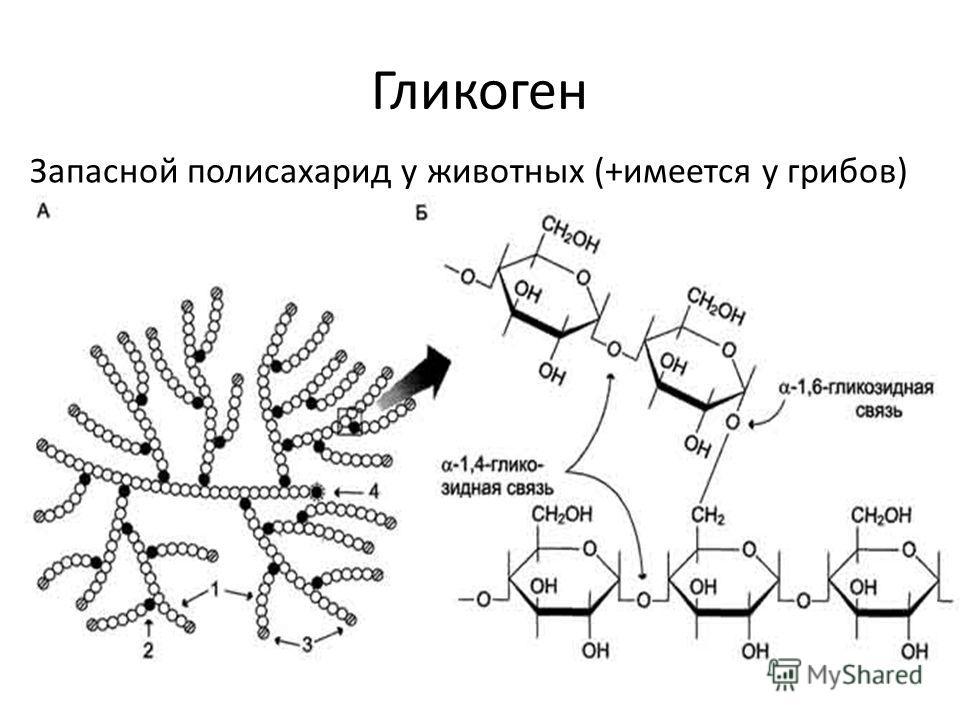 Гликоген Запасной полисахарид у животных (+имеется у грибов)
