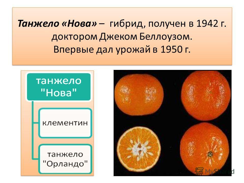 Танжело «Нова» – гибрид, получен в 1942 г. доктором Джеком Беллоузом. Впервые дал урожай в 1950 г.