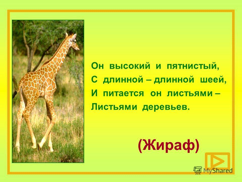 (Жираф) Он высокий и пятнистый, С длинной – длинной шеей, И питается он листьями – Листьями деревьев.