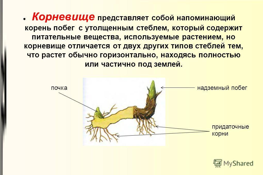 Корневище представляет собой напоминающий корень побег с утолщенным стеблем, который содержит питательные вещества, используемые растением, но корневище отличается от двух других типов стеблей тем, что растет обычно горизонтально, находясь полностью