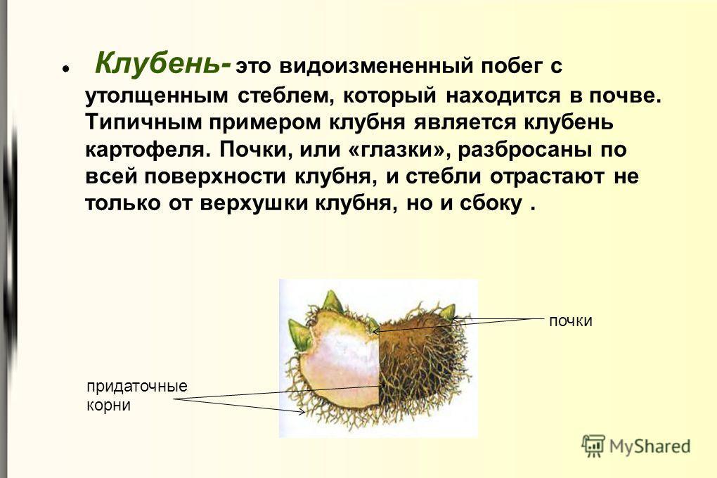 Клубень- это видоизмененный побег с утолщенным стеблем, который находится в почве. Типичным примером клубня является клубень картофеля. Почки, или «глазки», разбросаны по всей поверхности клубня, и стебли отрастают не только от верхушки клубня, но и