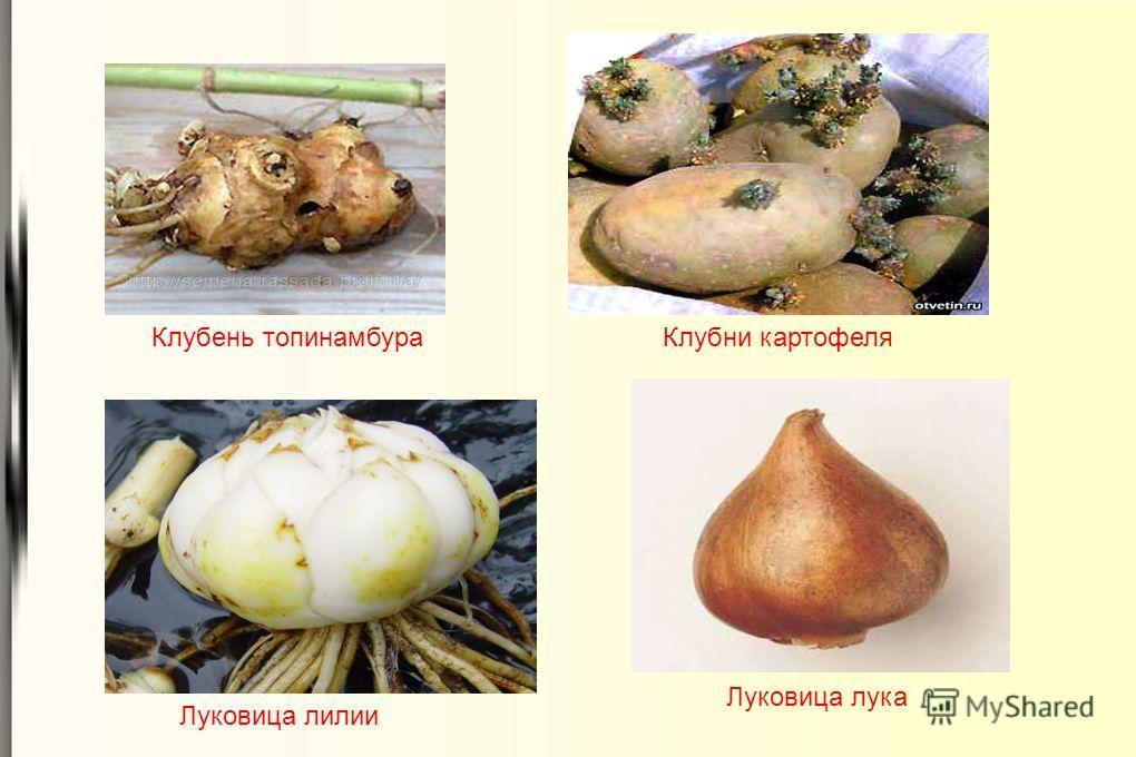 Луковица лука Луковица лилии Клубни картофеляКлубень топинамбура