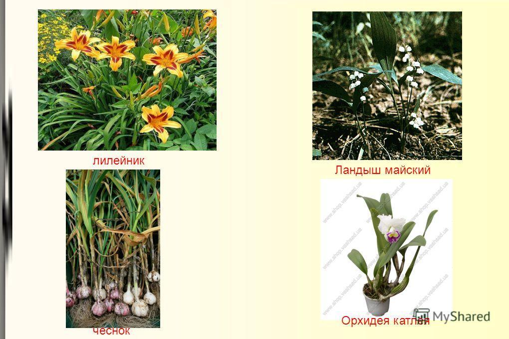 чеснок Орхидея катлея Ландыш майский лилейник