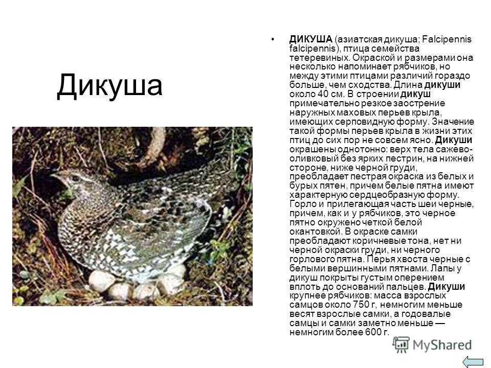 Дикуша ДИКУША (азиатская дикуша; Falcipennis falcipennis), птица семейства тетеревиных. Окраской и размерами она несколько напоминает рябчиков, но между этими птицами различий гораздо больше, чем сходства. Длина дикуши около 40 см. В строении дикуш п