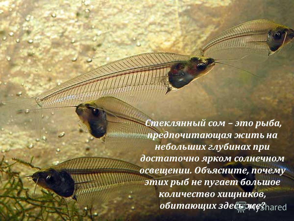 Стеклянный сом – это рыба, предпочитающая жить на небольших глубинах при достаточно ярком солнечном освещении. Объясните, почему этих рыб не пугает большое количество хищников, обитающих здесь же?