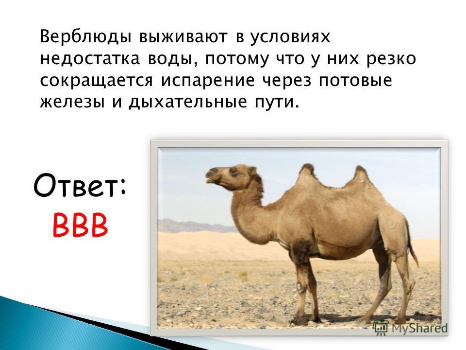 Верблюды выживают в условиях недостатка воды, потому что у них резко сокращается испарение через потовые железы и дыхательные пути. Ответ: ВВВ