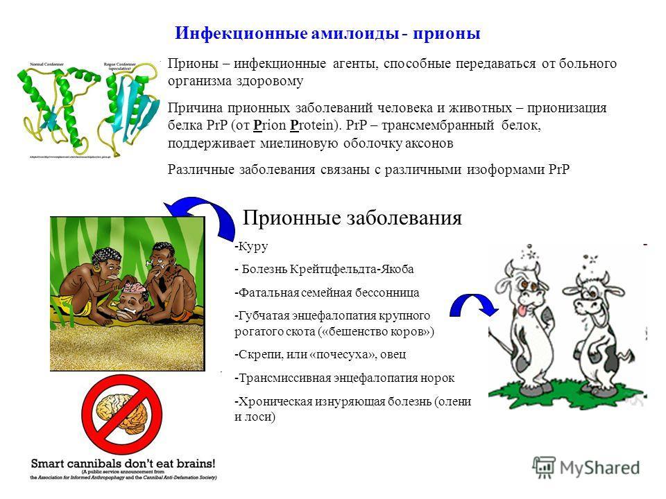 Инфекционные амилоиды - прионы Прионы – инфекционные агенты, способные передаваться от больного организма здоровому Причина прионных заболеваний человека и животных – прионизация белка PrP (от Prion Protein). PrP – трансмембранный белок, поддерживает